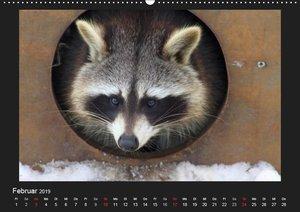 Waschbären (Wandkalender 2019 DIN A2 quer)