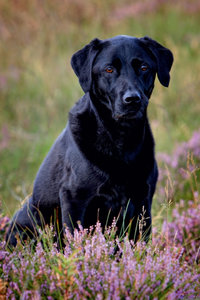 Premium Textil-Leinwand 80 cm x 120 cm hoch Schwarzer Labrador