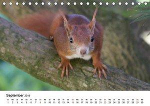 Guck mal, ein Eichhörnchen! (Tischkalender 2019 DIN A5 quer)