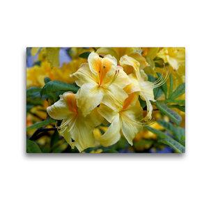 Premium Textil-Leinwand 45 cm x 30 cm quer Gelber Rhododendron
