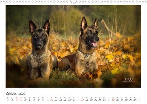 Malinois - Triebstarke Hunde mit viel Herz