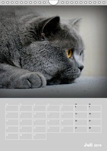 Graue Engel - Britischkurzhaar-Katzen