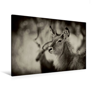Premium Textil-Leinwand 120 cm x 80 cm quer Wasserbock