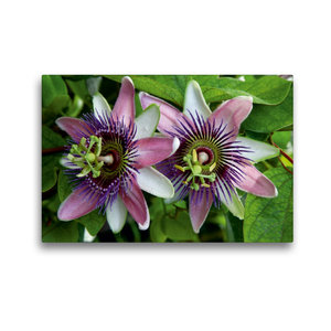 Premium Textil-Leinwand 45 cm x 30 cm quer Passiflora belotii ´K