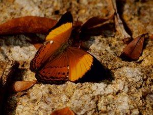 Ein Motiv aus dem Kalender Zarte Schönheiten - Schmetterlinge Ma
