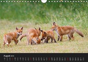 Füchse in freier Natur (Wandkalender 2019 DIN A4 quer)