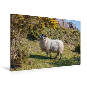 Premium Textil-Leinwand 120 cm x 80 cm quer Schaf an am Abhang