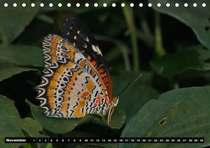 Tropical Butterflies / UK-version (Table Calendar perpetual DIN