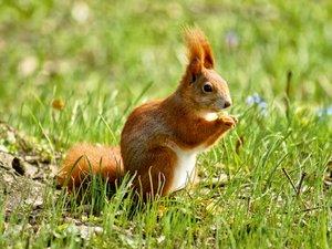 Rotes Eichhörnchen auf der Wiese 1000 Teile Puzzle quer