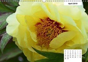 Zauber der Päonien-Blüte (Wandkalender 2019 DIN A3 quer)