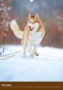 Hundekalender - Nordische Schönheiten (Wandkalender immerwährend