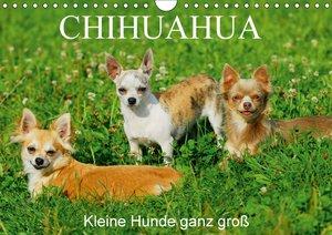 Chihuahua - Kleine Hunde ganz groß