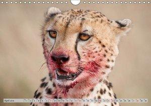 Emotionale Momente: Geparden / CH-Version (Wandkalender 2019 DIN