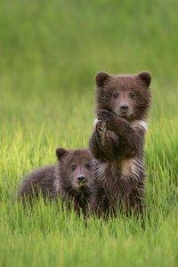 Küstenbären