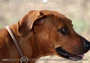 Rhodesian Ridgeback - eine Liebe fürs Leben