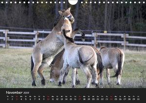 Przewalskipferde (Wandkalender 2019 DIN A4 quer)