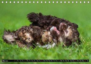 Kobolde auf 4 Pfoten - Bolonka Zwetna (Tischkalender 2019 DIN A5