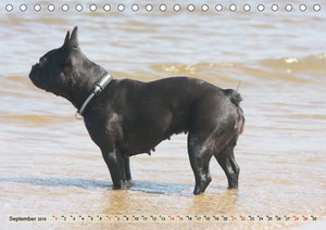 Bulldoggen - Englische und Französische Bulldoggen (Tischkalende