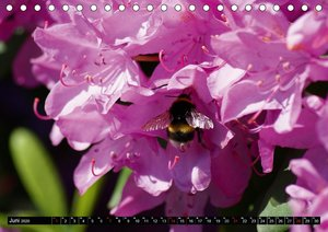 Farbenfrohe Rhododendronblüten
