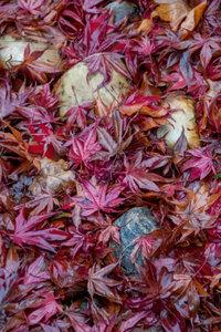 Premium Textil-Leinwand 60 cm x 90 cm hoch Roter Ahorn und Stein