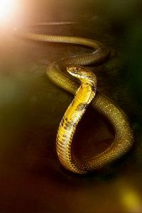Premium Textil-Leinwand 60 cm x 90 cm hoch Die Kobra, sehr gifti