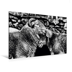 Premium Textil-Leinwand 120 cm x 80 cm quer Schafe