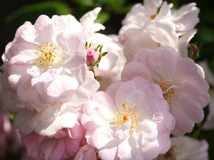 CALVENDO Puzzle Rosa \'Perennial Blush\' 1000 Teile Lege-Größe 6