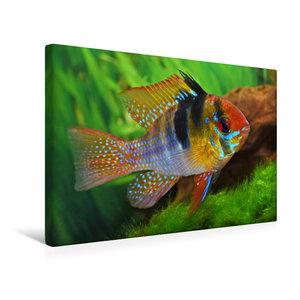 Premium Textil-Leinwand 45 cm x 30 cm quer Mikrogeophagus ramire