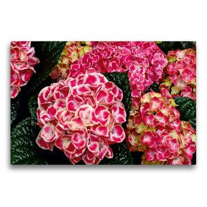 Premium Textil-Leinwand 75 cm x 50 cm quer Bauernhortensie