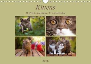 Kittens - Britisch Kurzhaar Katzenkinder