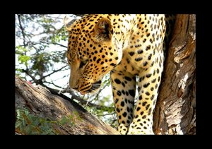 African Leopards (Stand-Up Mini Poster DIN A5 Landscape)