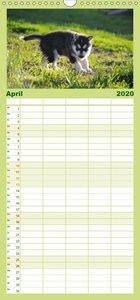 Huskys - Traumhunde - Familienplaner hoch (Wandkalender 2020 , 2