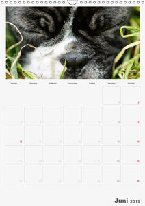 Boston Terrier der Hund 2019 (Wandkalender 2019 DIN A3 hoch)