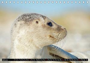 Robben an der Nordsee (Tischkalender 2019 DIN A5 quer)