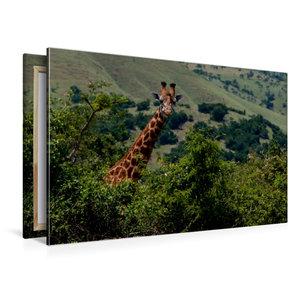 Premium Textil-Leinwand 120 cm x 80 cm quer Neugierige Giraffe