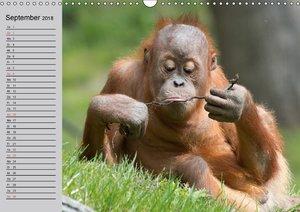 Menschenaffen. Gorillas, Schimpansen, Orang-Utans