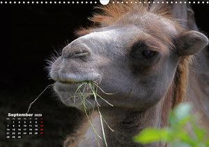 Camels / UK-Version