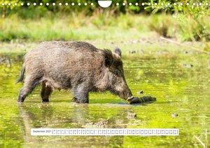 Faszination Hirschbrunft (Wandkalender 2021 DIN A2 quer)